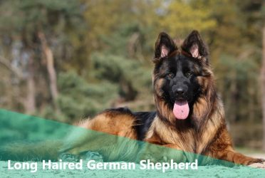Your Inside Scoop To The Remarkable Long Haired German Shepherd Animalso