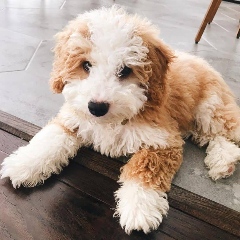 Fawn and white mini Bernedoodle relaxing at home