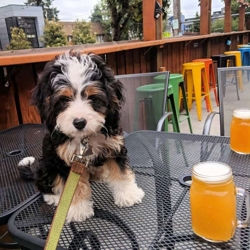 Mini Bernedoodle sitting on the table next to beer