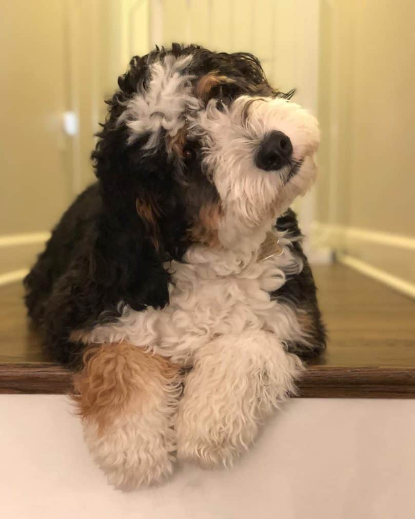 Mini Bernedoodle relaxing on the stairs at home