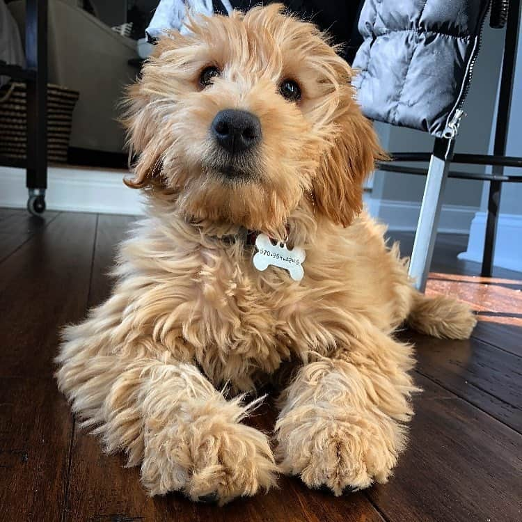Mini Goldendoodle lying on the floor at home