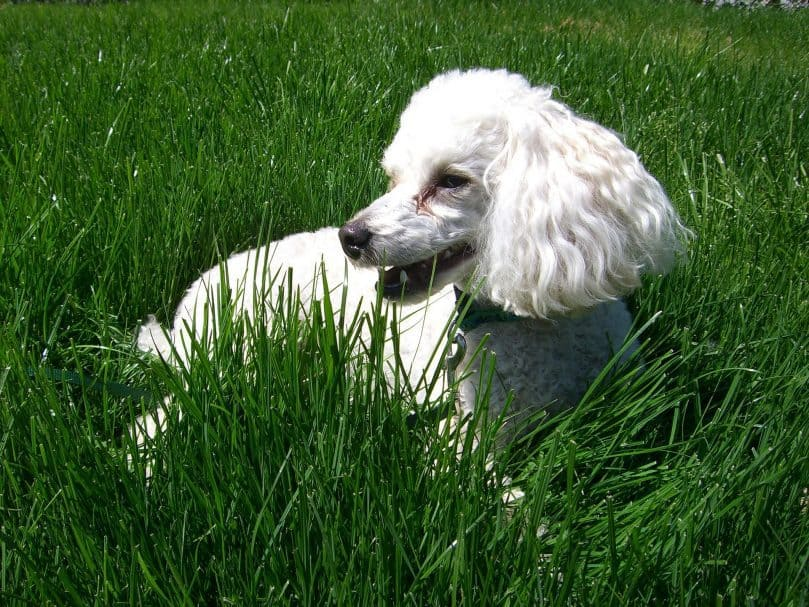 Mini Poodle lying in the grass on a sunny day
