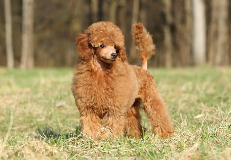 Toy poodle puppy standing outside in the grass