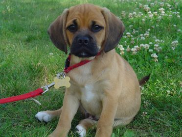 Pug Beagle Mix also known as Puggle