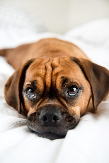 Puggle looking up at you on the bed