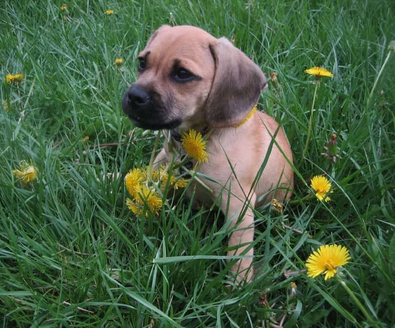 Puggle puppy playing outside in the grass and flowers