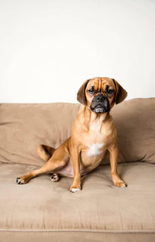 Grown Puggle sitting on the couch at home