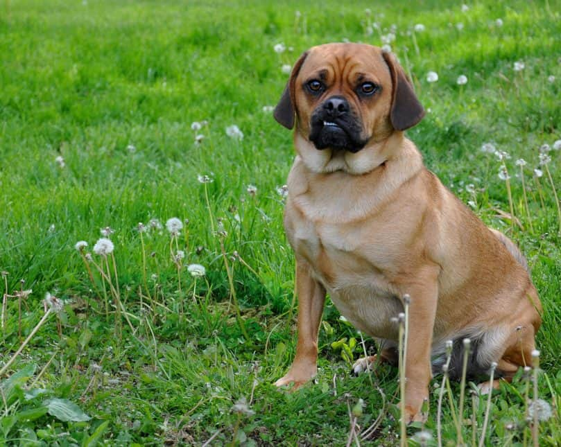 Adult Puggle sitting outside in the grass