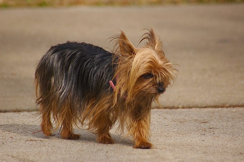 Black and brown teacup Yorkie walking