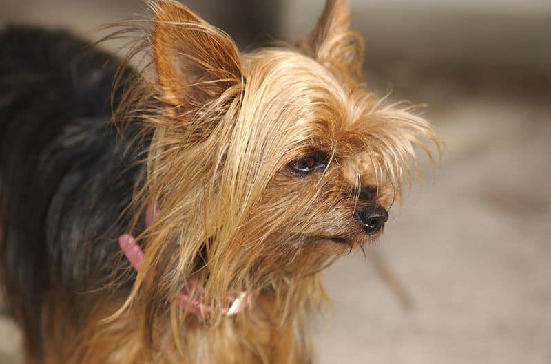 Black and brown Teacup Yorkie face close up