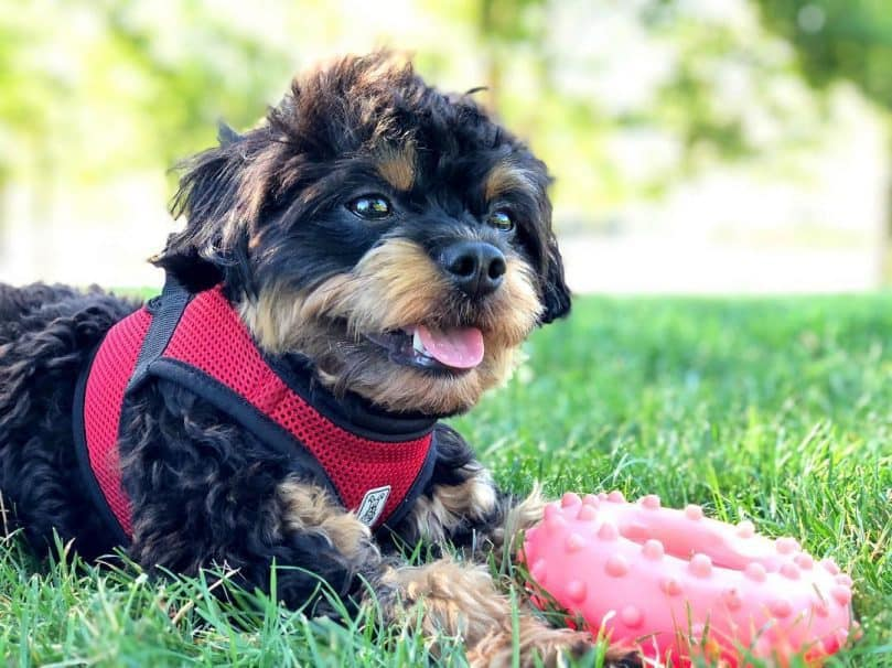 Cute Chihuahua Poodle mix dog lies on the grass with a toy
