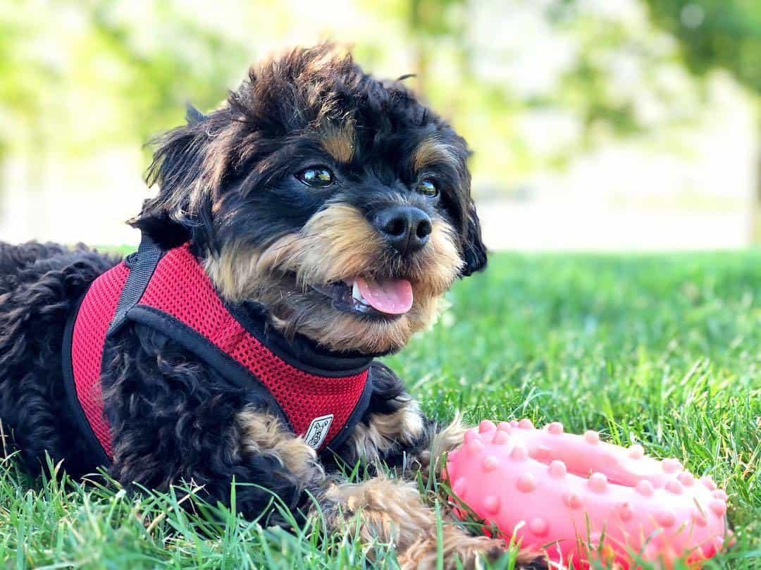 Chipoo Aka Chihuahua Poodle Mix A Little Dog With A Big