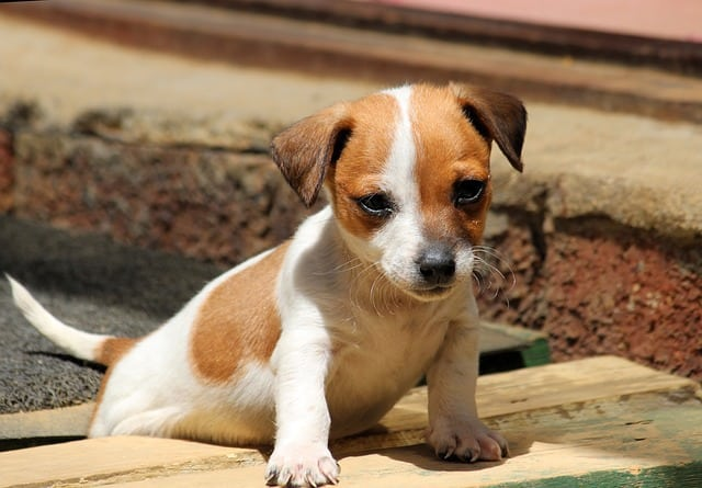Jack Chi Jack Russell Chihuahua Mix A Small And Active Dog Animalso