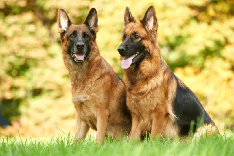Two full grown German Shepherds sitting in a field.