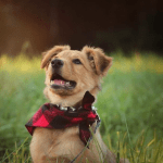 Adorable Golden Shepherd puppy