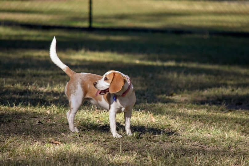 lemon beagle looking for owner
