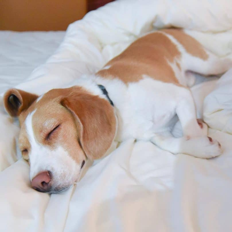 lemon beagle lying on a white quilt asleep