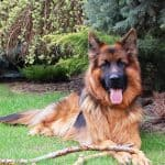 Gorgeous adult long-haired german shepherd laying in grass