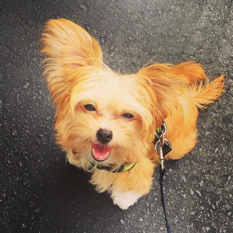 Long Eared Miki Dog