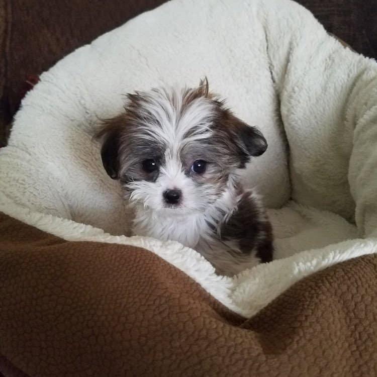 Gray and White Miki Puppy
