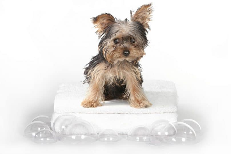Tiny Teacup Yorkshire Terrier on White Bathing