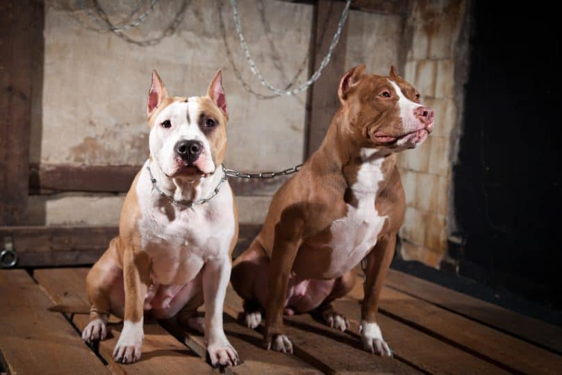 Two American Pitbulls sitting in a room