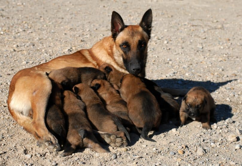 female belgian malinois and her eleven puppies
