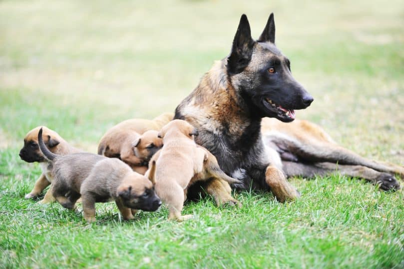 female dog of belgian malinois with puppies
