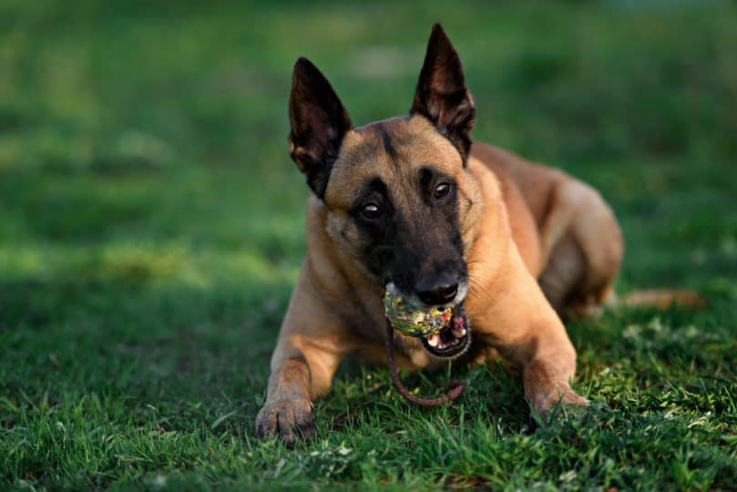 belgian malinois chewing on tennis ball outside