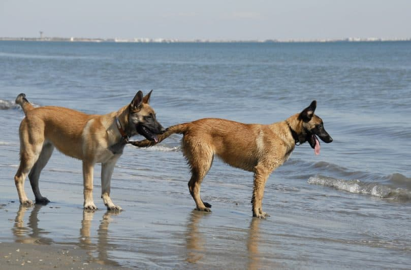 two puppies belgian shepherd malinois and the mediterranean sea