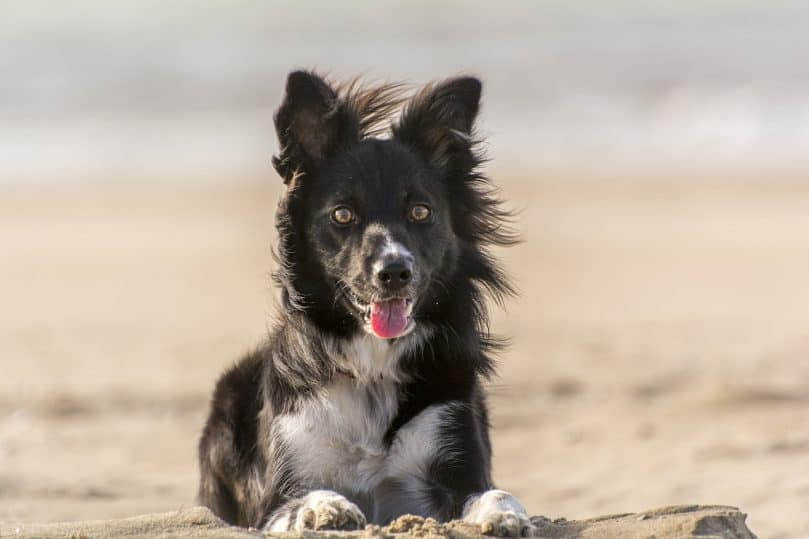 Border Collie laying in the sand