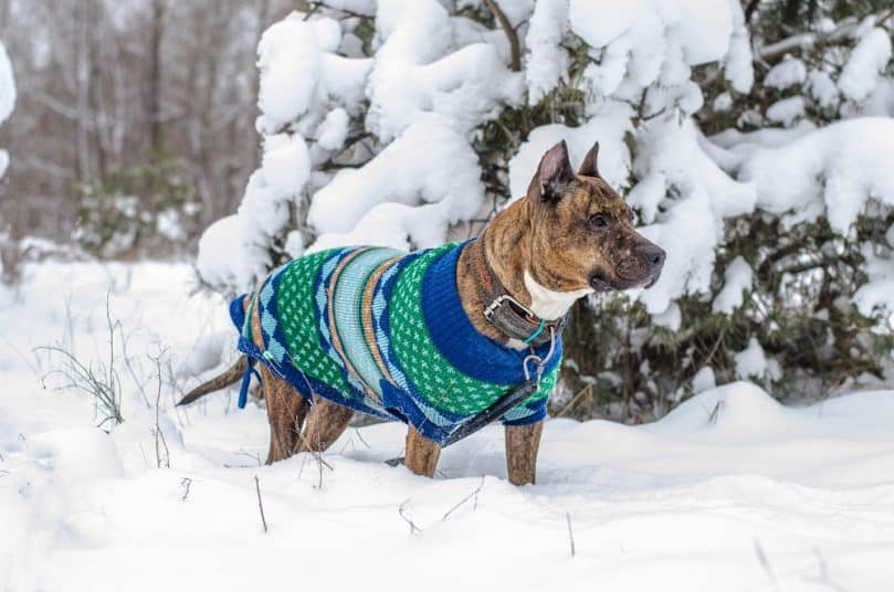 Brindle Pitbull wearing a coat outside in the snow