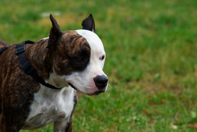 Brindle Pitbull with white markings playing outside