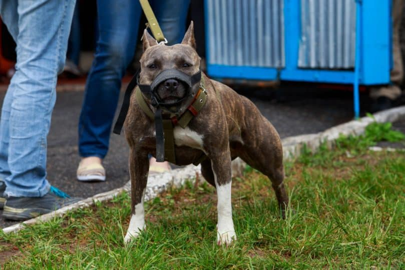 The Brindle Pitbull Is The Ultimate Rainbow Dog - Animalso