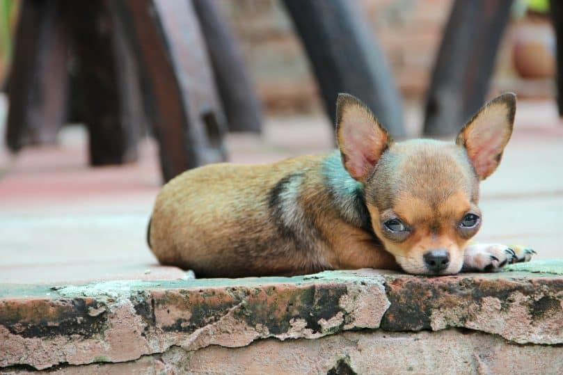 Chihuahua laying on the ground outside