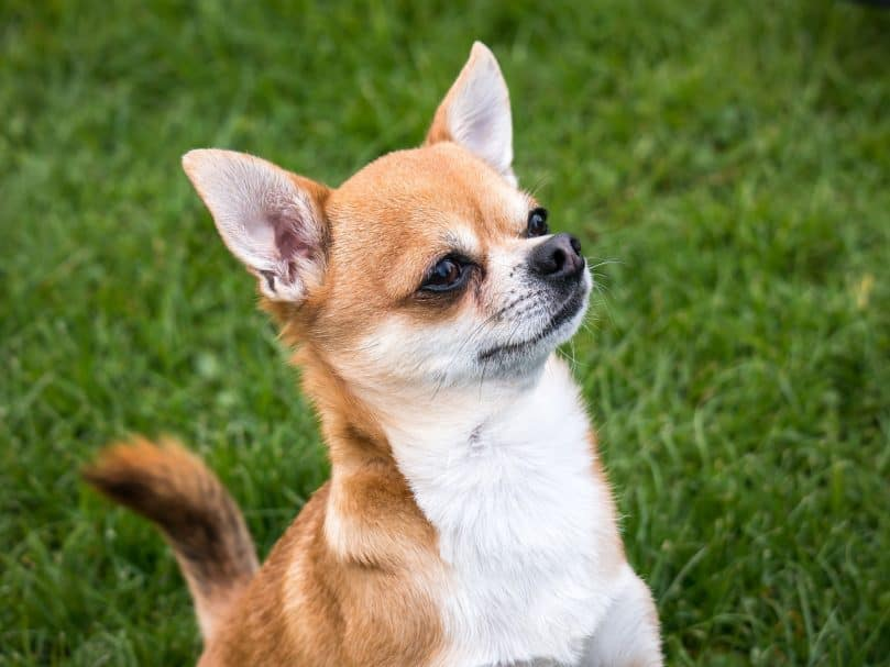 Chihuahua sitting outside in the grass