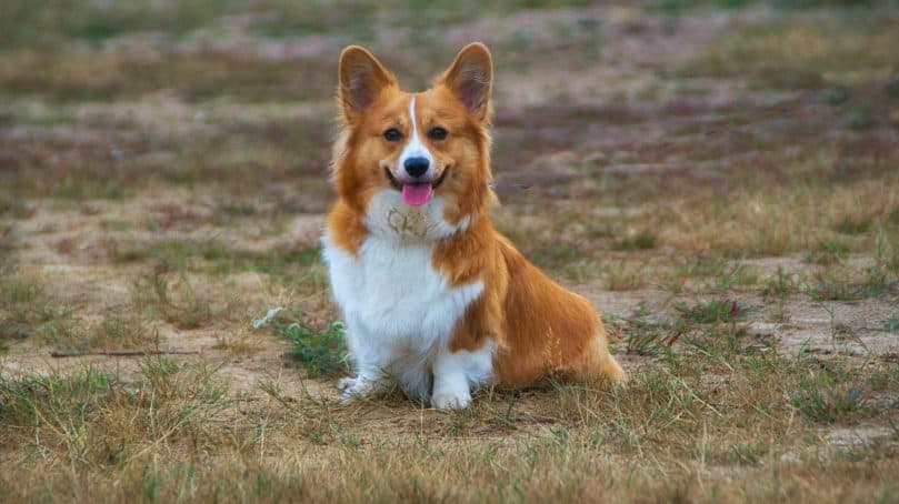 Corgi sitting in a field with its tongue sticking out