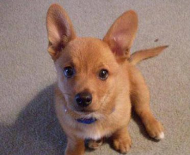 Corgi Chihuahua mix also known as Chigi