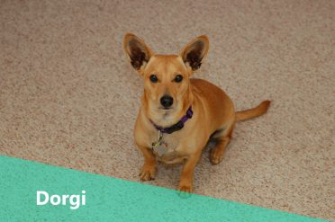 Corgi Dachshund Mix also known as Dorgi