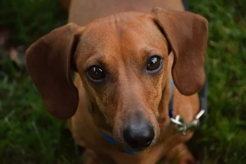 Dachshund looking up at its owner into the camera