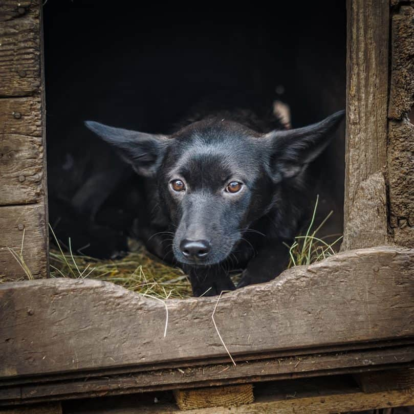 Dog laying on straw in heated dog house