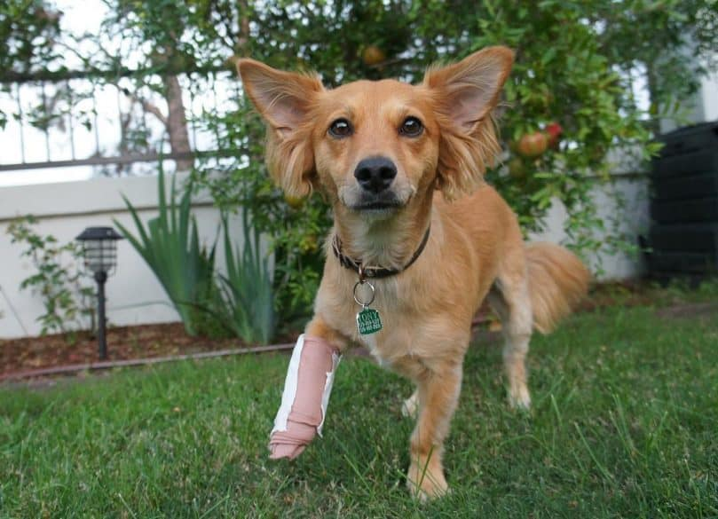 Dorgi with a broken leg playing outside in the grass