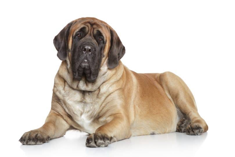 English Mastiff lying on a white background