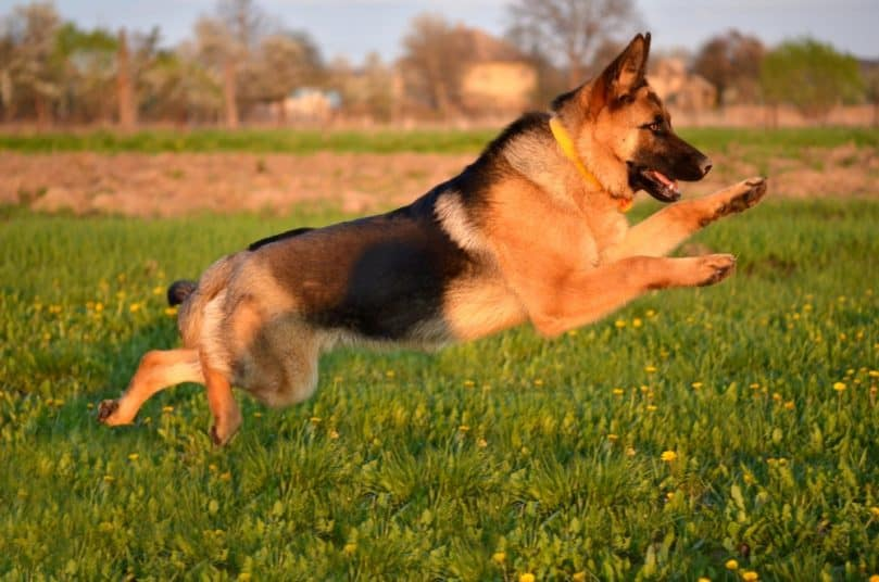 German Shepherd playing outside and jumping in the air