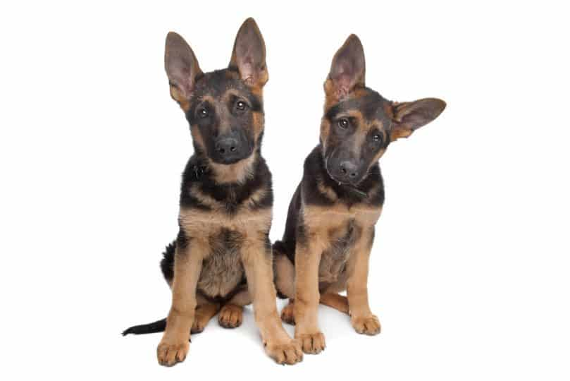 two German shepherd puppies in front of a white background