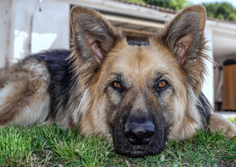 8 German Shepherd Mixes That Will Steal Your Heart Animalso