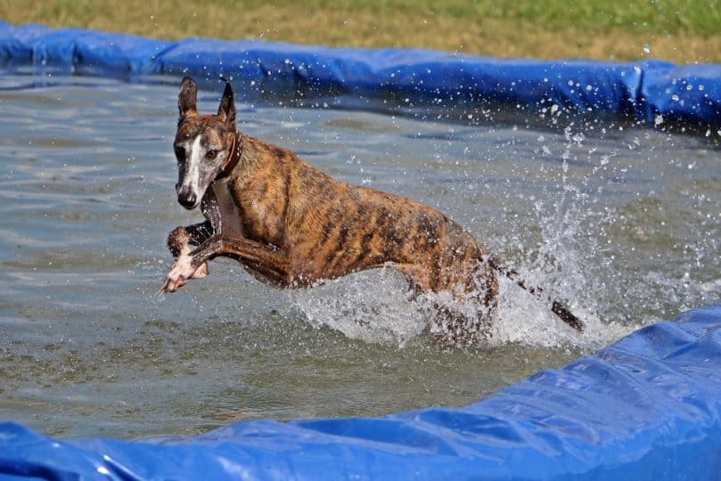 Brindle Greyhound splashing around in the water