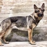 Miniature German Shepherd standing