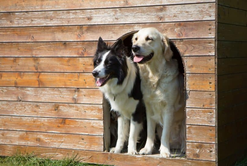 Border collie and Golden Retriever at heated doghouse