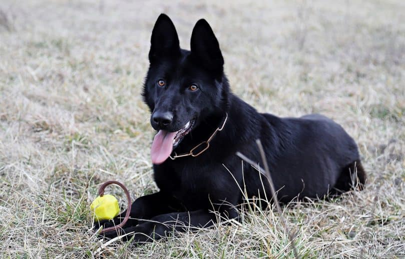 Black GSD with toy